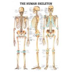 Plakat Anatomien i menneskets skelet 70X100 cm.