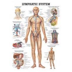 Plakat Lymfesystem 70 X 100 cm.