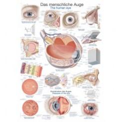 Plakat Det menneskelige øje 70 X100 cm