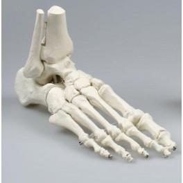 Skelet fod med fleksible led