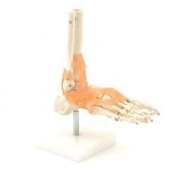 Skelet fod på stativ