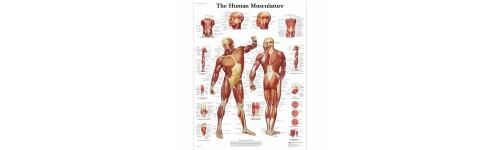 Anatomisk Plakat